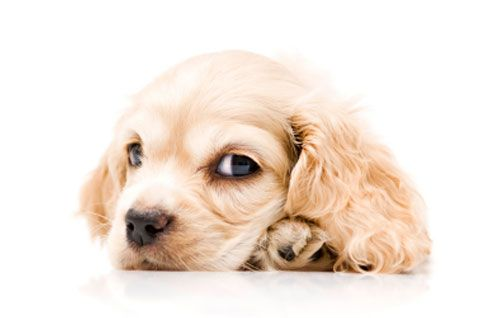 Pododermatitis in dogs